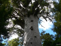 New-Zealand-P1020852-Waipoua-Forest-Tane-Mahuta-god-vh-woud-1200-2000-jr