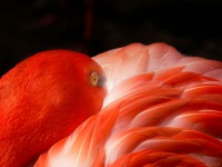 Expo.1.05-Cubaanse-flamingo