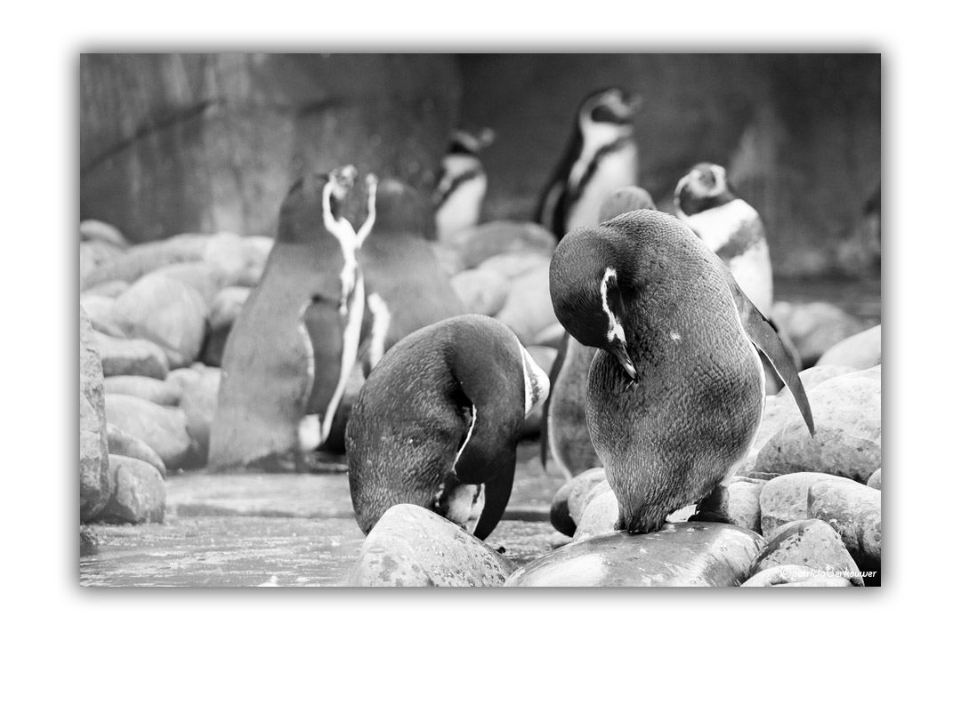 2009-10-17 Ouwehands Dierenpark Rhenen - 123 - Pinguins (web)