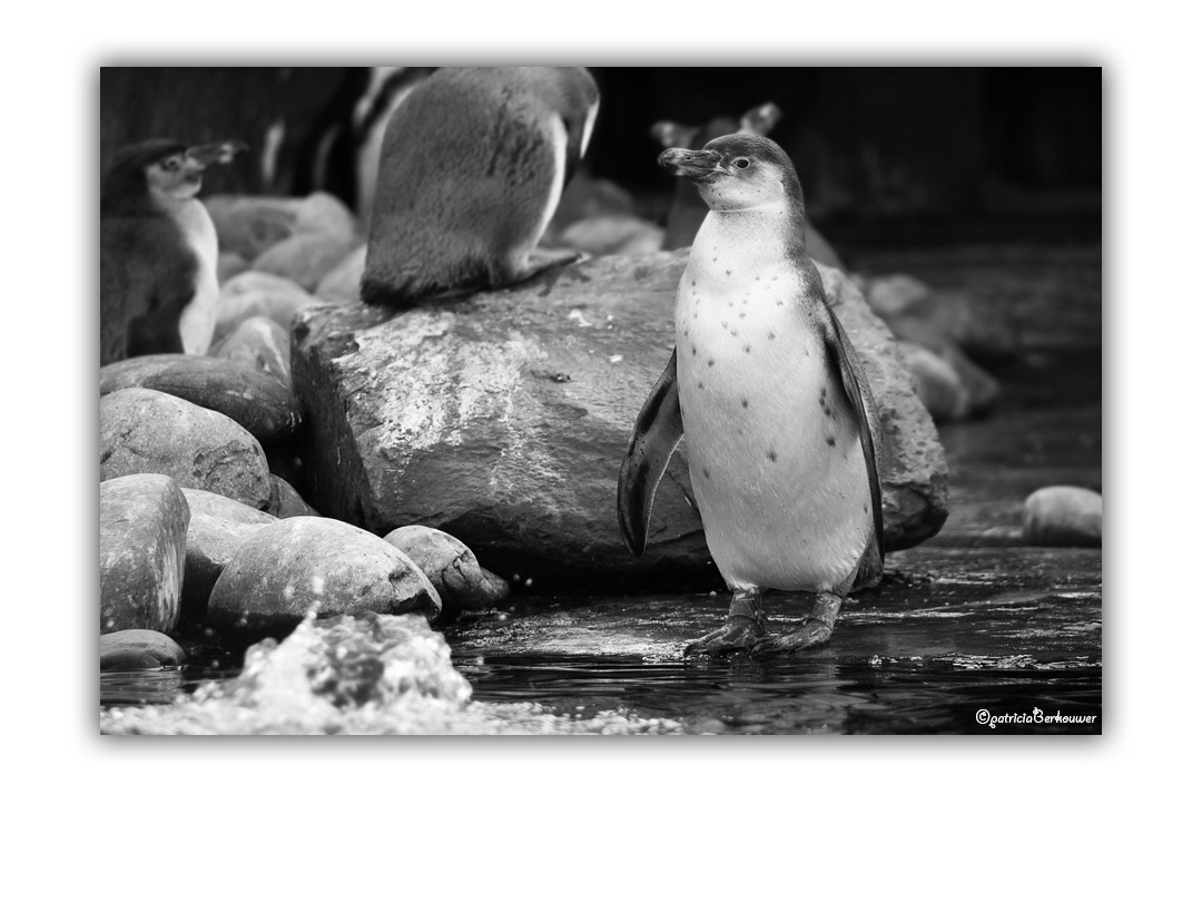 2009-10-17 Ouwehands Dierenpark Rhenen - 121 - Pinguins (web)