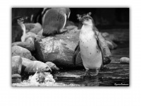 2009-10-17-Ouwehands-Dierenpark-Rhenen-121-Pinguins-web
