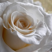 2006-01-05-une-rose-blanche